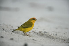 Saffranfink, Sicalis flaveola Arkivfoton