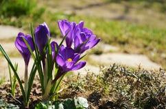Saffrankrokus Royaltyfri Fotografi