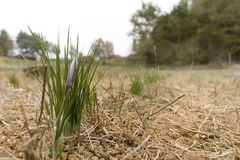 Saffron. Beginning of the flowering after having planted the Azafrán bulbs. A producer in the `Quercy` region in France stock image