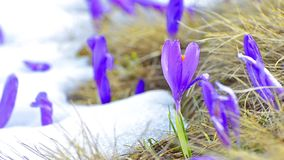 Saffron blossoms on melting snow stock video footage