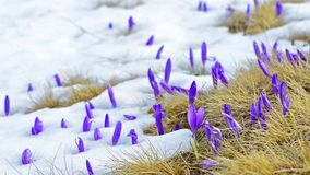 Saffron blossoms on snow stock video footage