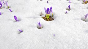 Saffron blossoms on snow in spring stock video footage
