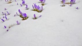 Saffron blossoms on snow stock video