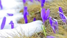 Saffron blossoms on white winter melting snow stock video