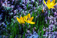 Saffron (Crocus) attracts bees to gather nectar and pollen Stock Photo