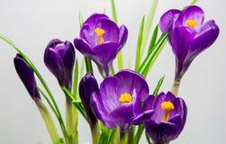 Saffron, crocus  blue. Saffron crocus  blue spring flower bouquet Stock Images