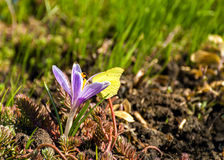 Saffron (Crocus) and butterfly on it Stock Photos