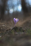 Saffron Crocus Flower in the Forest Royalty Free Stock Photography