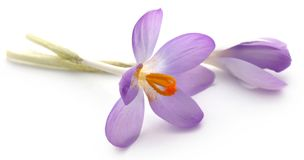 Saffron crocus flower. Isolated over white background Royalty Free Stock Images