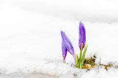 Saffron crocus flower and melting snow Royalty Free Stock Photography