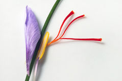 Saffron Crocus Flower Parts. After harvesting for expensive red saffron stigmas royalty free stock photography