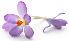 Saffron crocus flower. Isolated over white background Royalty Free Stock Photography