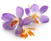 Saffron crocus flower. Over white background Royalty Free Stock Images