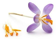 Saffron crocus flower. Over white background Royalty Free Stock Photo