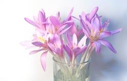 Saffron crocus flowers Stock Image