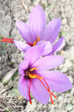 Saffron Crocus flowers Royalty Free Stock Photo