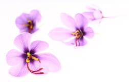 Saffron Crocus flowers Royalty Free Stock Image