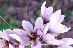 Saffron Crocus flowers Stock Images