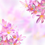 Saffron crocus flowers on blurred background Royalty Free Stock Images