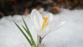 Saffron crocus spring bloom closeup between snow move in wind stock footage