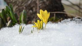 Saffron crocus yellow bloom first spring flowers between snow