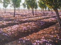 Field of crocus flowers Royalty Free Stock Photo