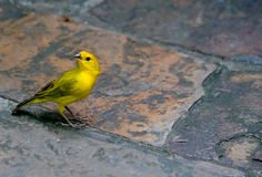 Saffron Finch. A yellow saffron finch on a path cautiously looking around while foraging for food royalty free stock images