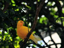 Saffron Finch bird (Sicalis) Royalty Free Stock Images