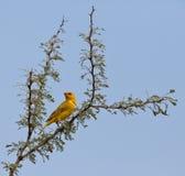 Saffron Finch on branch Stock Photo