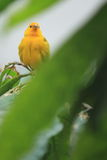 Saffron finch Royalty Free Stock Photography