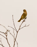 Saffron Finch on twig Royalty Free Stock Images