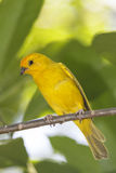 Saffron Finch Royalty Free Stock Photo