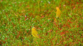 Saffron Finches in 'Ākulikuli Sesuvium Portulacastrum Royalty Free Stock Photography