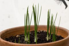 Saffron. First buds after having planted the saffron bulbs in a pot. A producer in the `Quercy` region in France stock photos