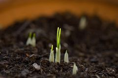 Saffron. First buds after having planted the saffron bulbs in a pot. A producer in the `Quercy` region in France stock images