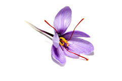 Saffron flower. A saffron flower isoalted on a white background Stock Photos