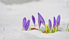Saffron flower blooming in spring stock video