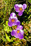 Saffron flower. In the grass, note shallow depth of field Stock Image