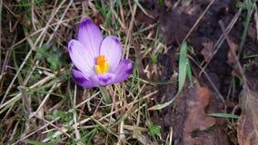 Saffron. Flower natural plant Royalty Free Stock Photos