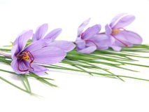 Saffron flowers Stock Photo