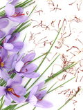 Saffron flowers. Close up of beautiful blue Saffron Crocus flowers Stock Image
