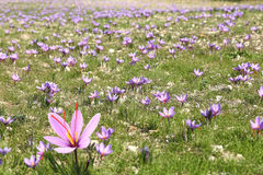 Saffron flowers. On the field Royalty Free Stock Image