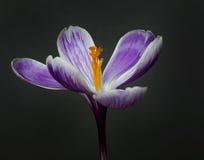 Saffron flowers Stock Images