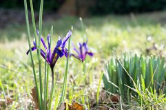 Saffron flowers in the garden royalty free stock photo