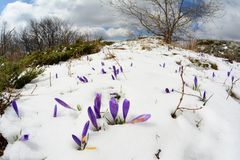 Saffron flowers and snowy fisheye landscape Royalty Free Stock Photo