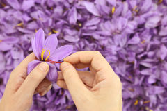 Saffron flowers. Woman's hands separates saffron threads from the rest flower Stock Images