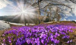 Saffron Geyfelya Stock Photography