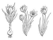 Saffron graphic flower black white isolated sketch illustration Stock Photo