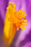 Saffron inside of crocus Royalty Free Stock Images