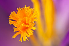 Saffron inside of crocus Stock Photo